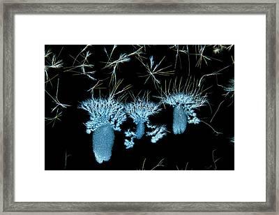Biotin Crystals Framed Print by Antonio Romero