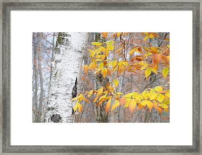 Framed Print featuring the photograph Birch And Beech by Paul Miller