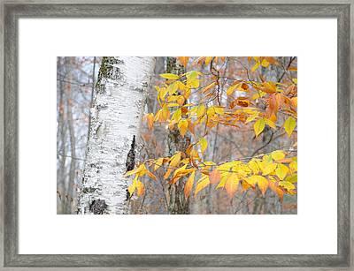Birch And Beech Framed Print by Paul Miller