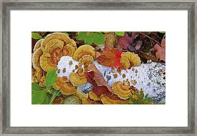 Birch And Fungi Framed Print by Susan Crossman Buscho