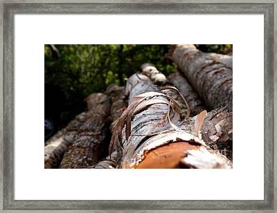 Birch Bark Curl Framed Print by Kerri Mortenson