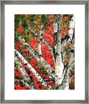 Framed Print featuring the photograph Birch Eclipsing Maple by Doris Potter