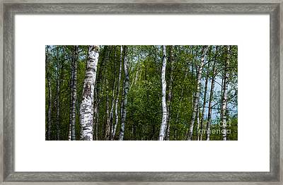Birch Forest In The Summer Framed Print by Hannes Cmarits