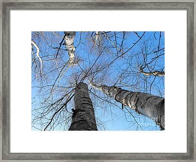 Birch Group In Winter Framed Print