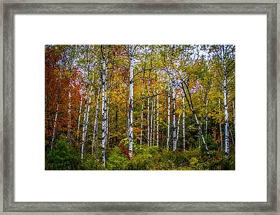 Birch In Fall #1 Framed Print