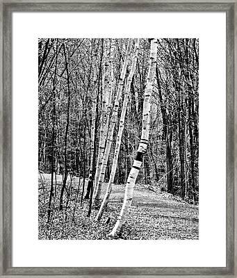 Framed Print featuring the photograph Birch Sentinels by Kristen Fox