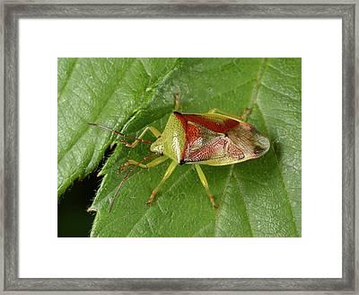 Birch Shield Bug Framed Print by Nigel Downer