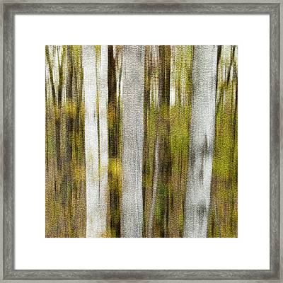 Birch Square Framed Print