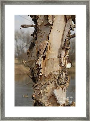 Framed Print featuring the photograph Birch Tree By The River by Lena Wilhite