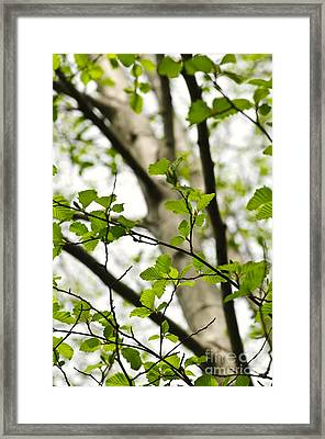 Birch Tree In Spring Framed Print by Elena Elisseeva