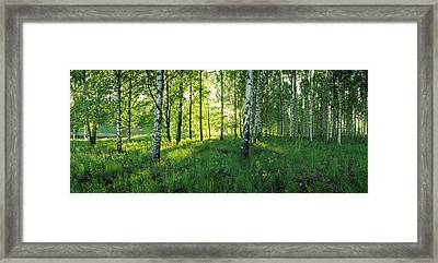 Birch Trees By The Saimaa Canal Framed Print