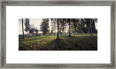 Birch Trees, Imatra, Finland Framed Print