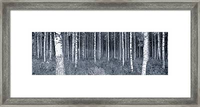 Birch Trees In A Forest, Finland Framed Print
