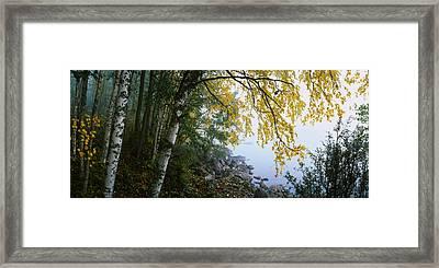 Birch Trees In A Forest, Puumala Framed Print by Panoramic Images