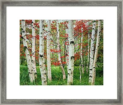 Birch Trees In Autumn, Acadia National Framed Print
