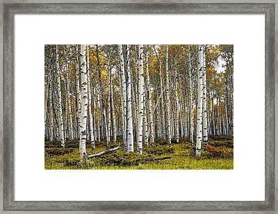 Aspen Trees In Autumn Framed Print