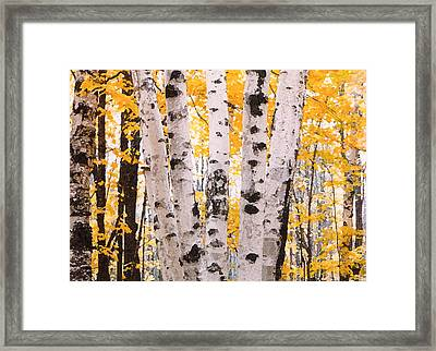 Birch Trees In The Fall Framed Print