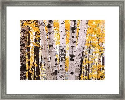 Birch Trees In The Fall Framed Print by Susan Crossman Buscho