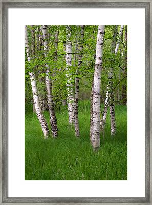 Birch Trees In The Great Meadow, Acadia Framed Print by Panoramic Images