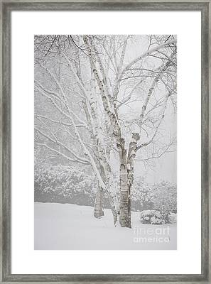 Birch Trees In Winter Framed Print