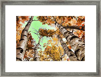 Birch Trees Framed Print