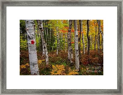 Birch Trees Framed Print by Todd Bielby