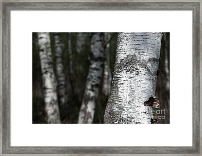 birches II Framed Print by Hannes Cmarits