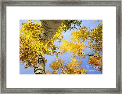 Birches In Autumn Colors Framed Print