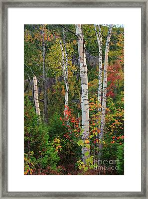 Birches In Fall Framed Print