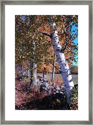 Birches Framed Print by Mim White