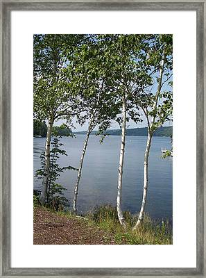 Birches On Sunapee Framed Print