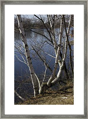 Birches On The River Framed Print by Michael Friedman
