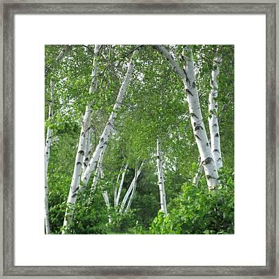 Birches Framed Print by Patricia E Sundik