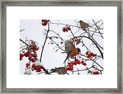 Bird And Berries Framed Print by Jay Nodianos
