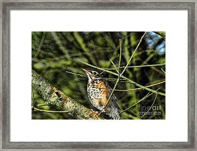 Bird - Baby Robin Framed Print by Paul Ward
