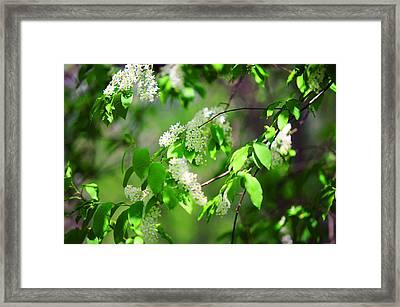 Bird-cherry Tree At Spring Blooming Framed Print