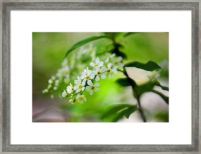 Bird-cherry Tree Bloom In Spring Time Framed Print by Jenny Rainbow