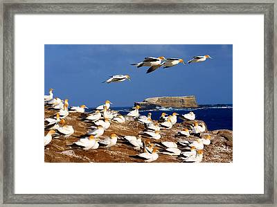 Framed Print featuring the photograph Bird Colony Australia by Henry Kowalski