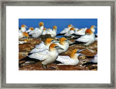 Framed Print featuring the photograph Bird Colony Australia2 by Henry Kowalski