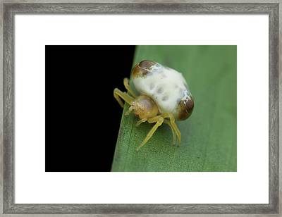 Bird Dung Spider Framed Print by Melvyn Yeo