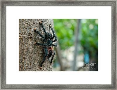 Bird-eater Tarantula / Tarantula Comedora De Aves Framed Print by Daniel Castillo
