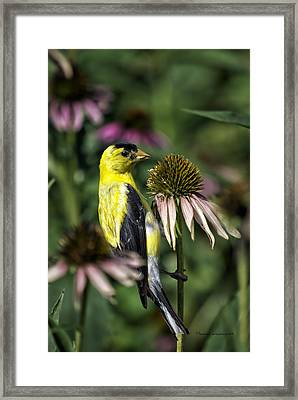 Bird Eating Seeds For One Framed Print by Thomas Woolworth