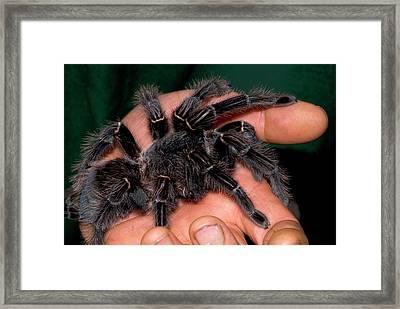 Bird-eating Spider Framed Print by Nigel Downer