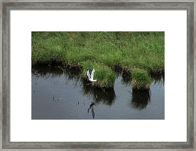 Bird In Flight In Alaska Framed Print by Ronald Olivier
