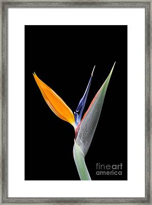 Bird Of Paradise #2 Framed Print