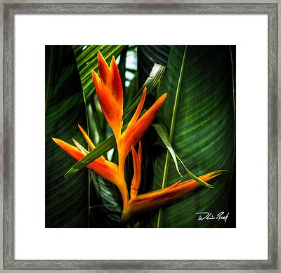 Bird Of Paradise 2 Framed Print by William Reek