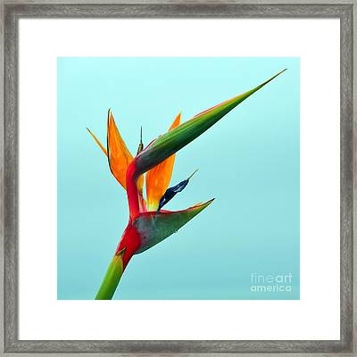 Bird Of Paradise Against Aqua Sky Framed Print