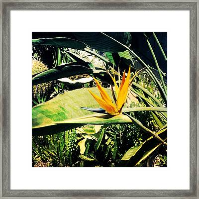 Bird Of Paradise Framed Print by Beth Williams