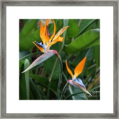 Bird Of Paradise Framed Print by Carol Groenen
