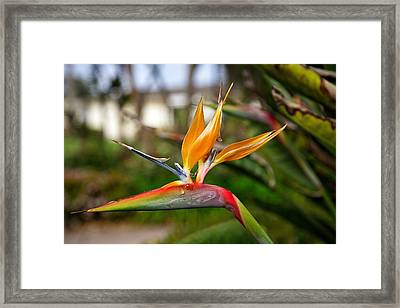 Bird Of Paradise Framed Print by Dave Files
